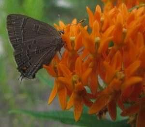 Butterflies Require Native Plants